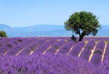 Champs de lavandes en Provence